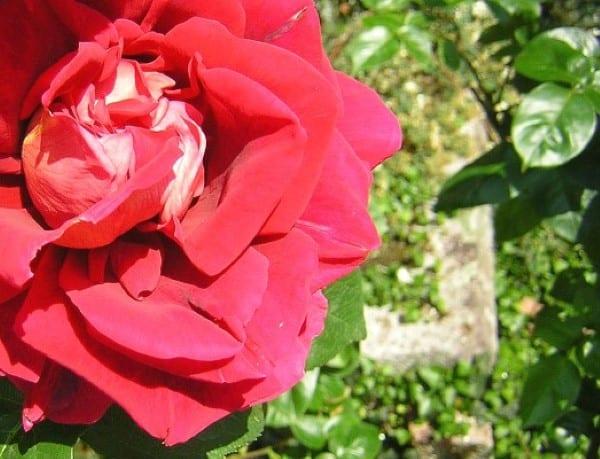 Rosa de chica vírgenes Sevilla